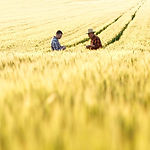 Wheat%20crop%20with%20two%20farmers%20sh