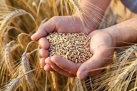 Hands holding wheat shutterstock_4888993