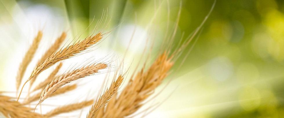Wheat%20sheath%20in%20sun%20shutterstock