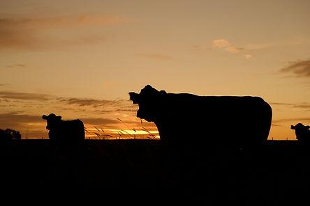 cattle-640985_1920.jpg