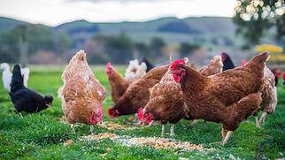 Chickens at feeding time.jpg