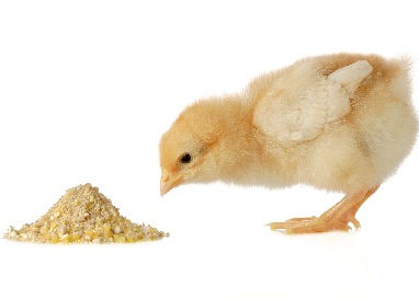Cute%20chick%20eating%20shutterstock_675