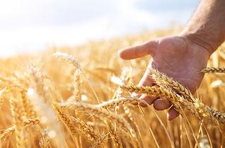 Wheat crop in field shutterstock_4475981
