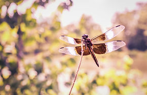 Pic_FlyingDragonfly_gratisography.jpg