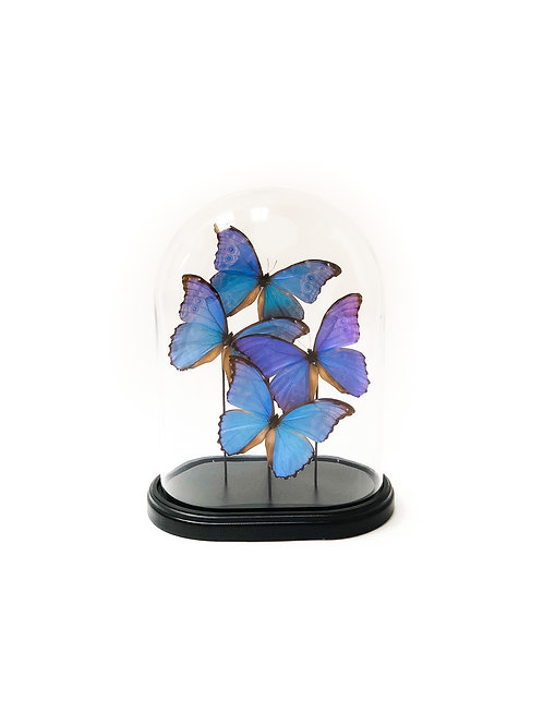 4 Morpho Didius In Bell Jar