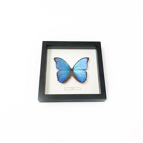 Morpho Didius Butterfly