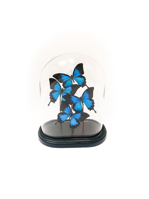 4 Papilio Ulysses In Bell Jar