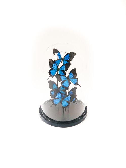 5 Papilio Ulysses In Bell Jar