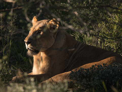 A FEW NOTES ON WORLD LION DAY