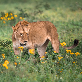 THE BIG CAT PUBLIC SAFETY ACT CAN PROTECT BIG CATS IN THE WILD