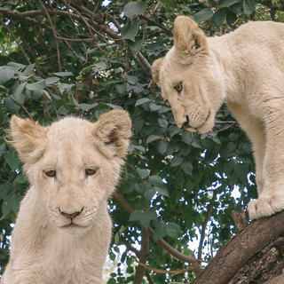 THE PROBLEM WITH ALL THOSE LION CUB SELFIES ON INSTAGRAM