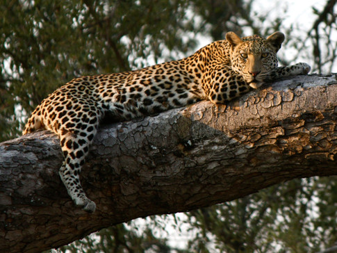leopard3lk.JPG