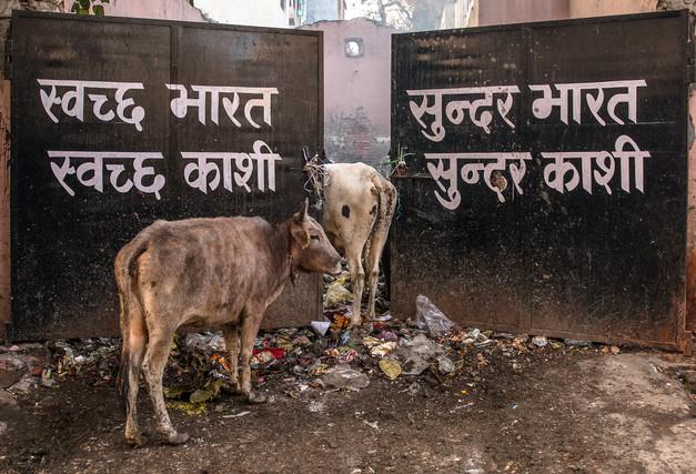 Cows rummaging through trash in Varanasi, India.
