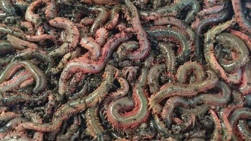 Ragworm