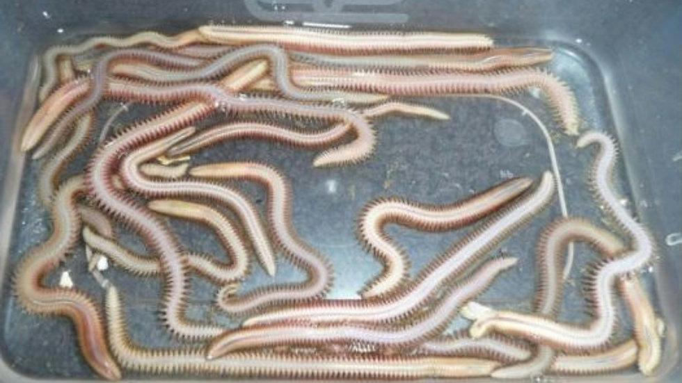 White Ragworm (small) per worm
