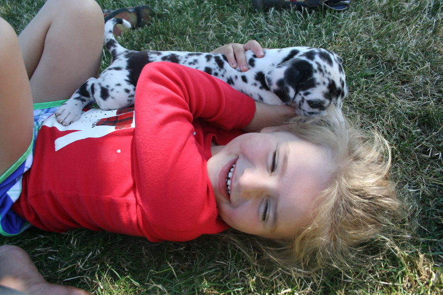 AKC Harlequin Puppy