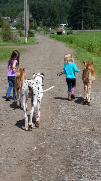 Lucy the Great Dane and Jersey Calves