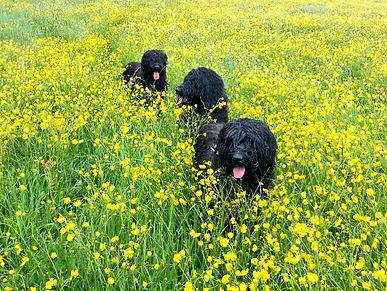 Happy Briards walking in field
