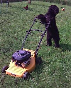 Dog mowing