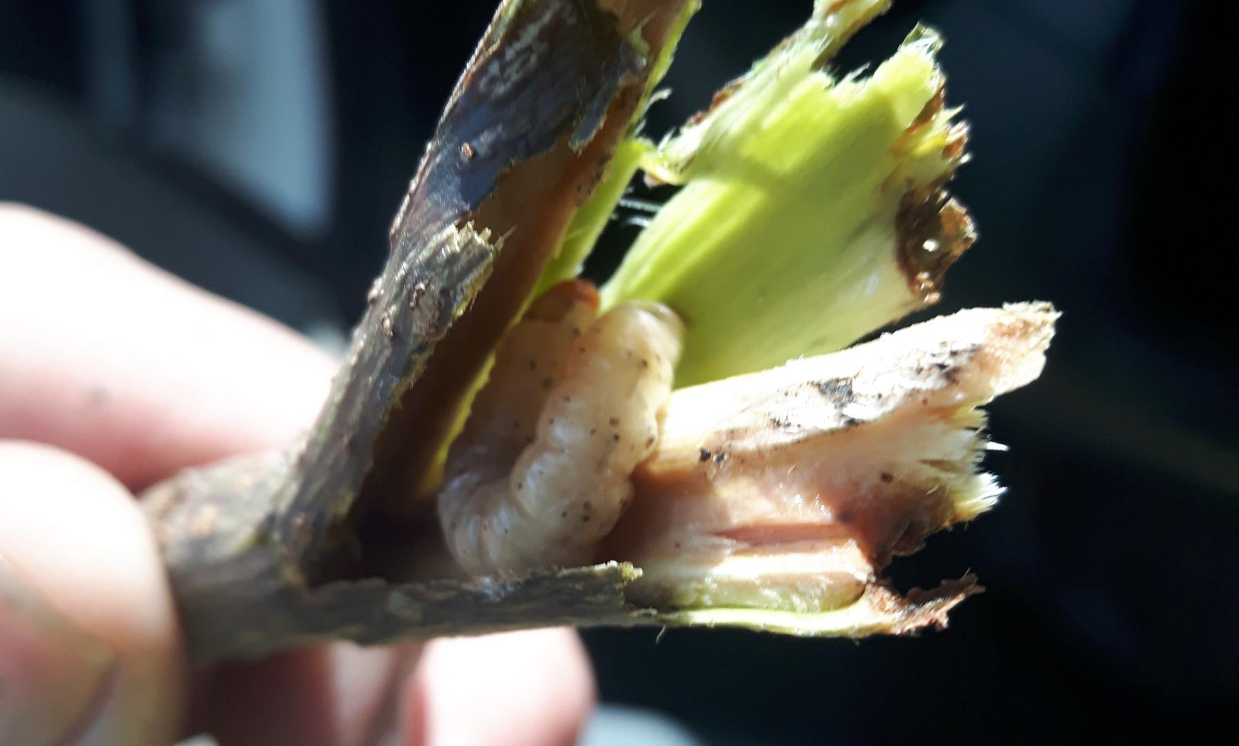 Unidentified larvae in Boxelder