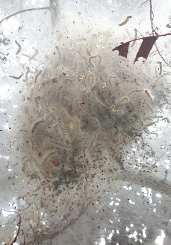Ugly Nest Caterpillar