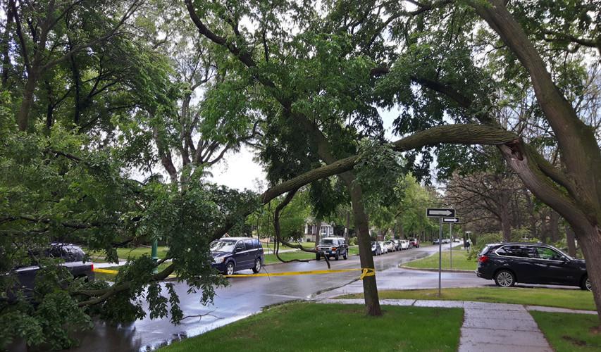American Elm limb failure (pruning error)