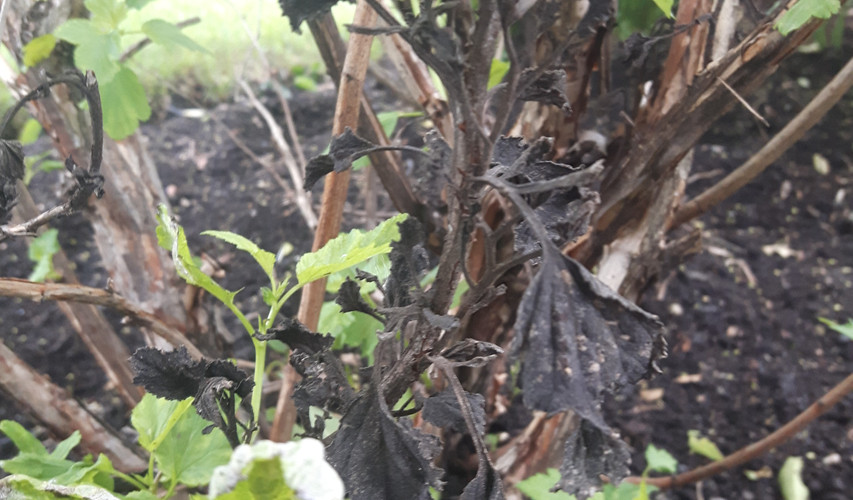 Ninebark, weed killer damage