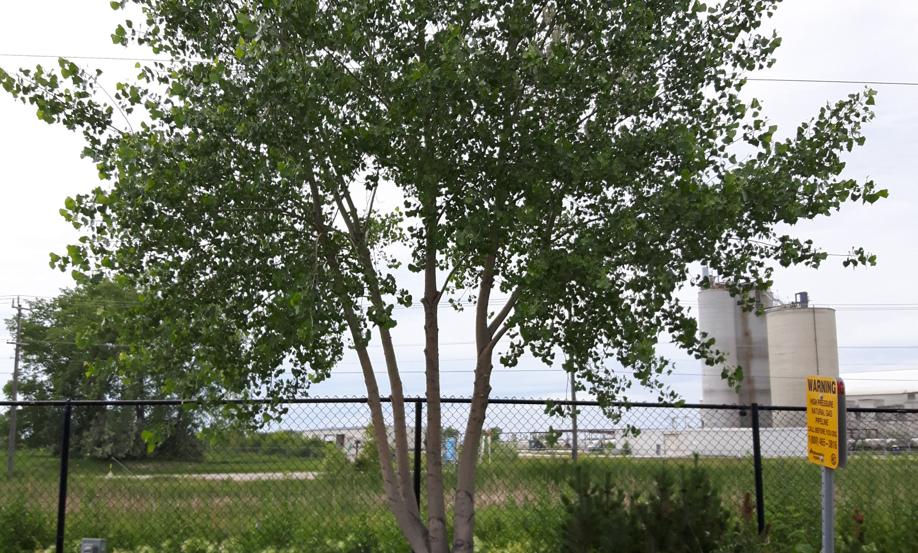 Poplar, post-pruning