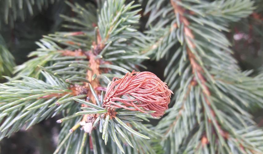 Spruce Tip Blight