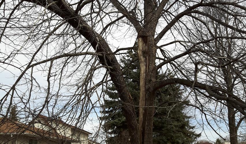 Basswood codominant stem split