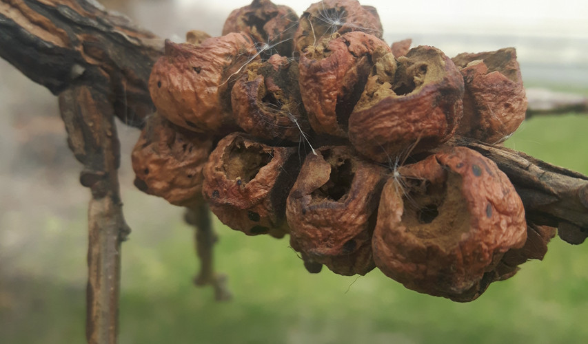 Rough Bulletgall Wasp