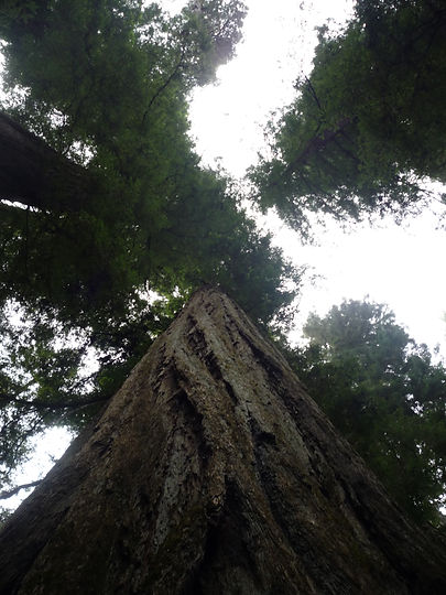 Looking skyward through a Redwood forest