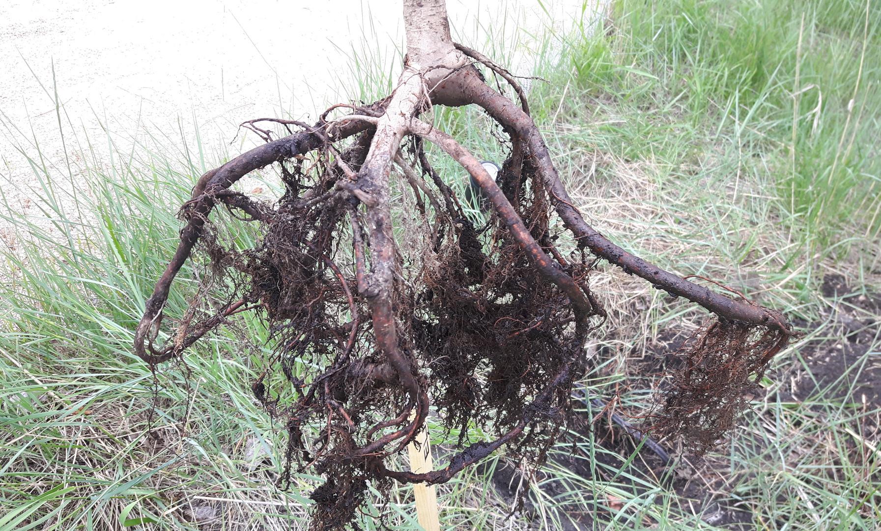 Bare root tree installation
