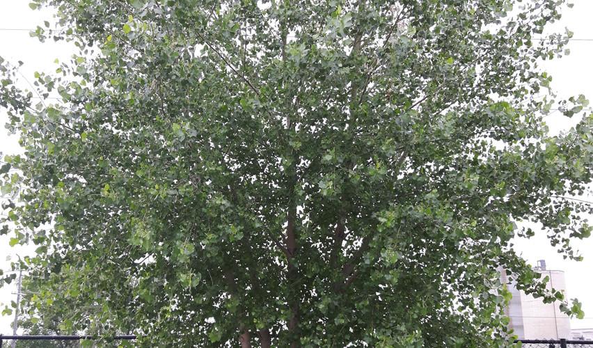 Poplar, pre-pruning