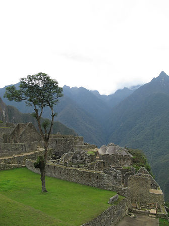 Tree growing at Machu Picchu,Peru