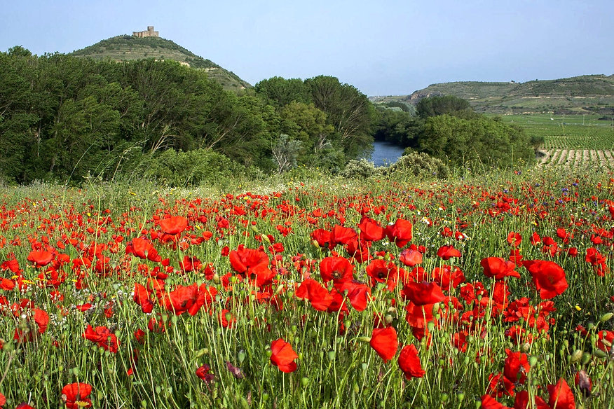basque country rioja spain poppies