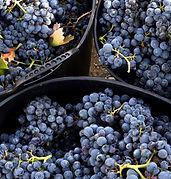 spain-rioja-basque-harvest-wine grapes