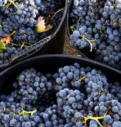 spain-rioja-basque-harvest-wine grapes