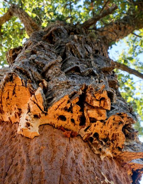 portugal-alentejo-cork-oak-tree walking hiking tour