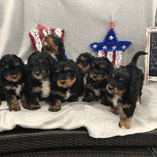 Abbey and Dudley Miniature Litter Spring 2019