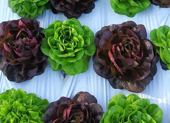 Lettuce, Salanova Quartet