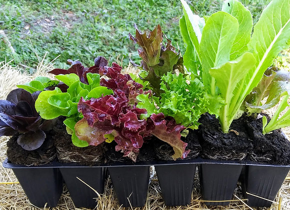 10 Vegetables or Lettuce Seedlings