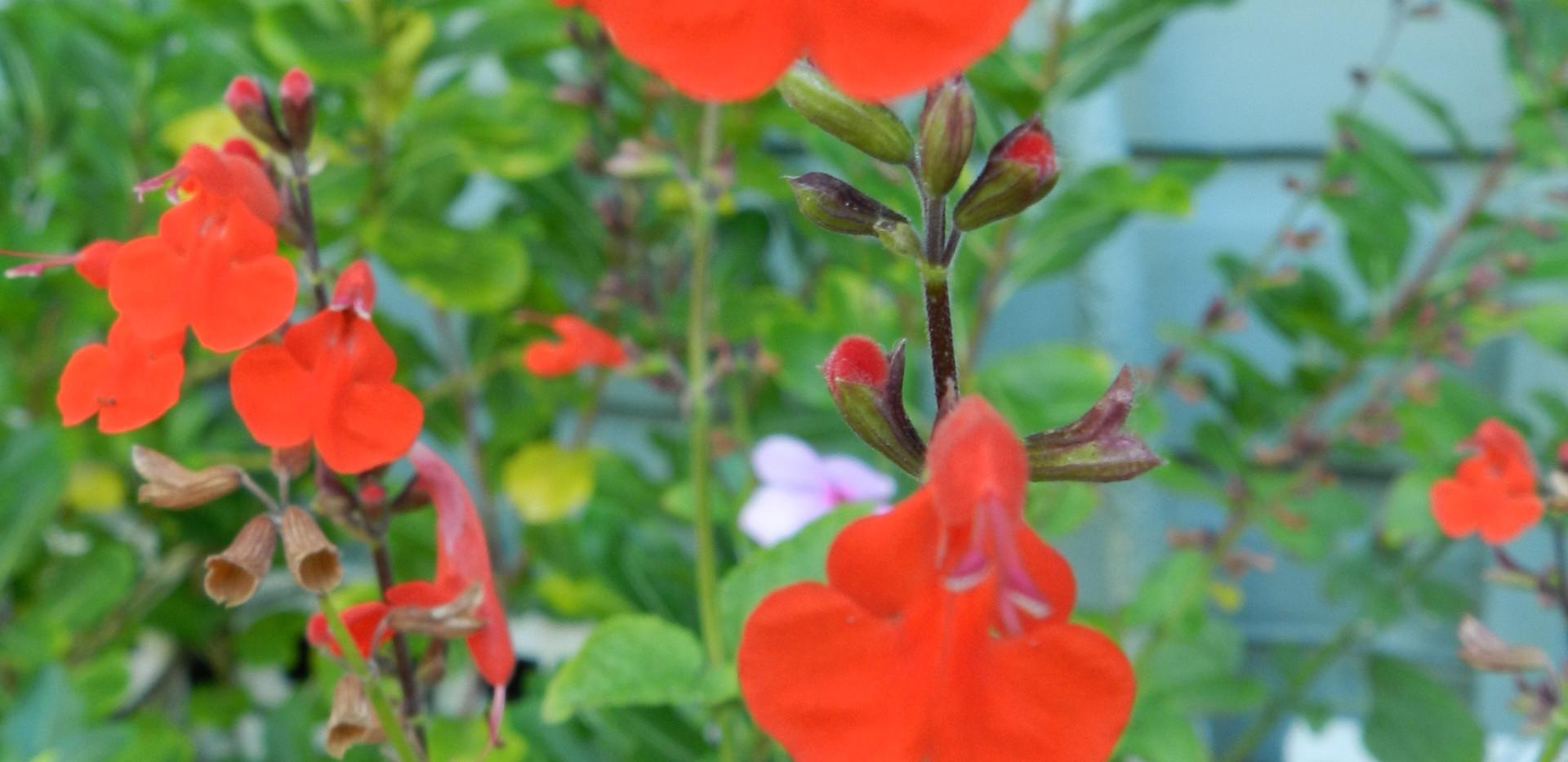 Tropical Sage (Salvia coccinea)