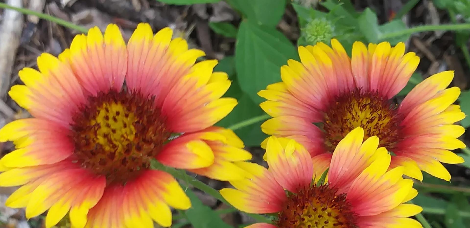 Blanketflower (Gaillardia pulchella)