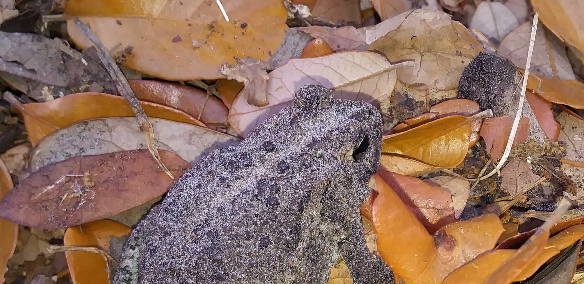 Southern Toad (Buffo terrestris)