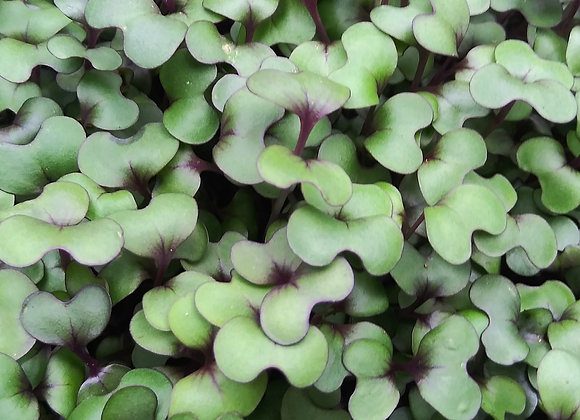 Microgreens, Red Acre Cabbage