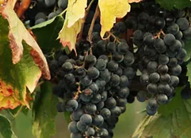 Muscadine Grapes SALE!