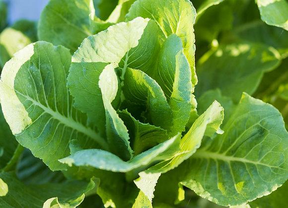 Lettuce , Romaine