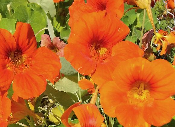 Edible Flowers, Nasturtium