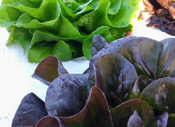 Lettuce, Salanova Baby Leaf Blend